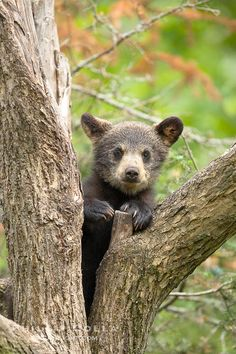 Black bear cub in a tree.  Mother bears will often send their cubs up into the safety of a tree if larger bears (who might seek to injure th...