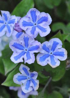 Navelwort (Omphalodes cappadocica) 'Starry Eyes'