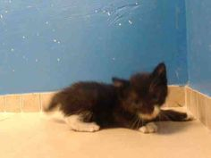 TO BE DESTROYED 8/12/13 Brooklyn Center  My name is LILY. My Animal ID # is A0974601. I am a female black and white domestic sh mix. The shelter thinks I am about 3 WEEKS old. https://www.facebook.com/photo.php?fbid=647482741930228=a.576546742357162.1073741827.155925874419253=3