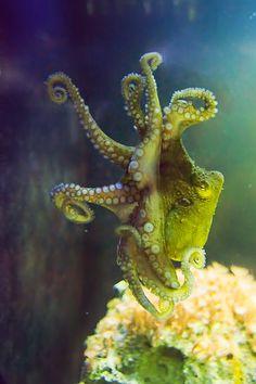 *Dancer Octopus (by Laura Mitchum) Underwater Creatures, Underwater Life, Ocean Creatures, Beautiful Creatures, Animals Beautiful, Kraken Octopus, Medusa, Octopus Pictures, Deep Blue Sea