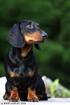 Alert and attentive, that's what a Dachshund is everyday. plus loving and sweet ♥ Dachshund Funny, Mini Dachshund, Dachshund Puppies, Weenie Dogs, Cute Puppies, Cute Dogs, Chihuahua, Daschund, Doggies