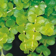 Creeping Jenny: Roundish chartreuse leaves and yellow flowers on trailing stems make this mat-forming perennial ideal for softening the edges of tall urns or hanging baskets.