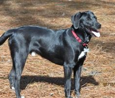 Jody is an #adoptable Labrador Retriever Dog in #SouthernPines, #NCAROLINA. Jody is a year old Lab mix with a shiny black coat and a big smile.  He is sweet, friendly, and wants to please.  When he came to us,...