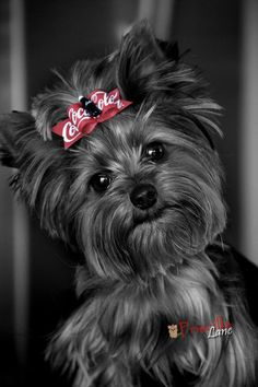 """Awwww...I had a Doll~Face~Yorkie just like this Little Sweetie... she passed away at the age of 6 months from SIDS... My~Sweet~Little~Heidi fell asleep & never woke up""..."