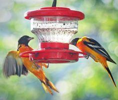 BIRDS! — Baltimore Orioles sharing breakfast....