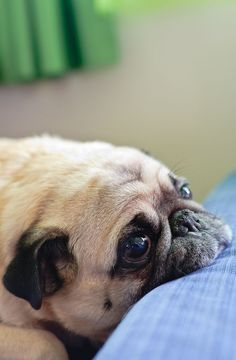 So tell me again how i came to live with you. Pug #pug