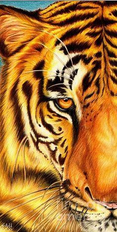 Tiger...such a beautiful creature