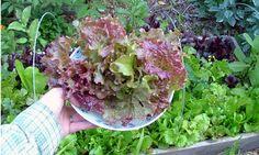 Best Vegetables to Grow in the Shade - Colleen Vanderlinden via foodfreedom.wordpress.com