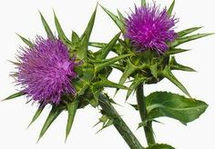 What Is Milk Thistle? Learn abotu milk thistle and how you can use it to do a detox now! Is milk thistle enough? Is it safe and effective? Find the answers here! Natural Detox, Natural Herbs, Milk Thistle Liver Detox, Natural Remedies For Gerd, Cure For Heartburn, Gastroesophageal Reflux Disease, Candida Diet, Backyard Birds, Medicinal Plants