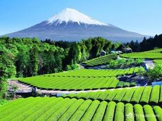 Чайные плантации около горы Фудзияма, Япония. Теперь ты видел, как выращивают…