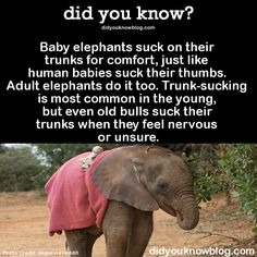 did-you-kno: Baby elephants suck on their trunks for comfort, just like human babies suck their thumbs. Adult elephants do it too. Trunk-sucking is most common in the young, but even old bulls suck their trunks when they feel nervous or unsure. Elephant Facts, Elephant Love, Baby Elephants, Elephant Stuff, Elephant Walk, Elephant Parade, Cute Funny Animals, Cute Baby Animals, Animals And Pets