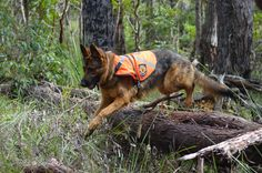 search and rescue dog | WA Canine Section Annual Training Weekend- Donnybrook