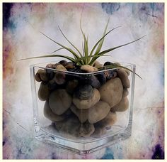 https://flic.kr/p/Q3Faaj   (2433) Tillandsia aeranthos   Quim Granell Freelance Photographer  © All rights reserved  Contact: quimgranell@cmail.cat