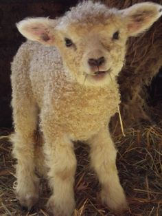 Louise, my 6 day old Cotswold ewe