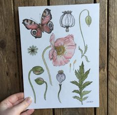 #ArtistPromo: @thefloralfoxart Poppy Study     #watercolour #poppy #poppies #flowers #floral #botanical #botany #butterflies #nature #graphite