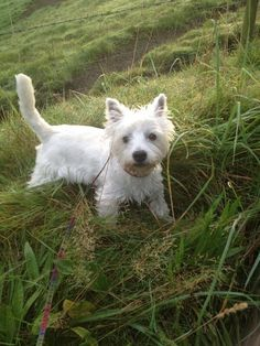 Oscar the Westie in Manchester