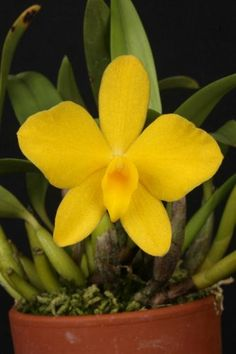 orquídea sophronits coccinea amarela
