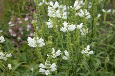 Physotegia virginianum 'Summersnow'- scharnierplant/lipbloemfam. Bloeit wit(7-9) .50-.75 hoog kan worden en van normale grond/ zandgrond houd, prima snijbloem