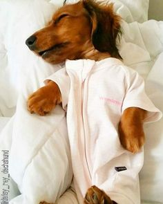 Sweet Dreams Cute Doxie!