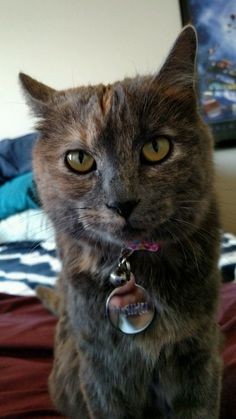 """In traditional folklore, the tortoiseshell cat was said to bring good luck. Check out Haiku""""s story here.  #ISFgrants"""
