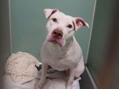 KOOLIE - 17676 - - Brooklyn TO BE DESTROYED 01/16/18 **NEW HOPE RESCUE ONLY** - Click for info & Current Status: http://nycdogs.urgentpodr.org/koolie-17676/
