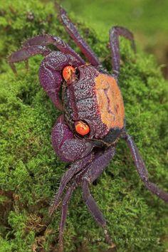 """vamp crab"" - Vampirkrabbe Geosesarma sp. Vampire (I. Siwanowicz)"
