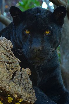 Black panther watching with golden eyes. These big cats are the melanistic color variant of either jaguar or leopard species. Big Cats, Cool Cats, Cats And Kittens, Beautiful Cats, Animals Beautiful, Cute Animals, Jaguar Noir, Animal Espiritual, Grand Chat