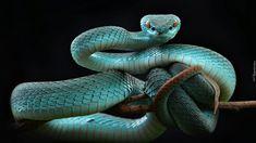 Niebieska, Żmija, Trimeresurus insularis
