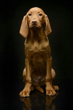 Chien Hungarian Vizsla Buddy Burming on Dog pet animal puppy pooch cute woof pup Yummypets Vizsla Puppies, Cute Puppies, Dogs And Puppies, Weimaraner, Vizsla Dog, Adorable Dogs, Beautiful Dogs, Animals Beautiful, Cute Animals