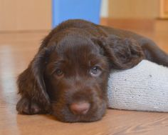 My Hudsy Girl was probably the cutest pup ever!! Field Spaniel #Spaniels #Dogs #Puppy