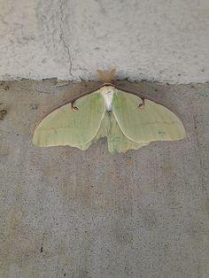 broken luna moth