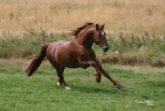 Frederiksborg stallion Kazahr