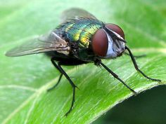 Family Calliphoridae - Blow Flies - Green Bottle Fly - Lucilia