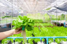 The future of gardening is here with aquaponics systems where you can grow a large variety of plants, fish and vegetables in a relatively small area. Learn more about this fantastic way of growing your own food with this pin! #aquaponics #selfsufficient #food Fish Tank Aquaponics, Indoor Aquaponics, Aquaponics Greenhouse, Aquaponics System, Hydroponics, Fish Tank Design, Hydroponic Growing, Mother Earth News, Fish Farming