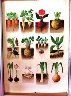 "Etsy - Vintage botanical illustration - ""root vegetables"""