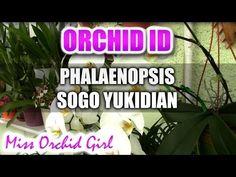 Phalaenopsis Sogo Yukidian - White cascade of blooms - YouTube