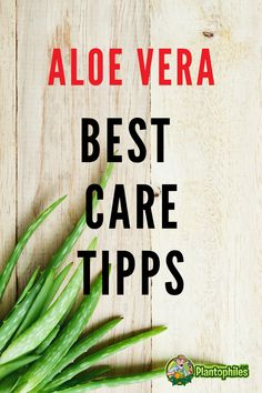 Aloe Vera Hacks. Learn everything about the care for this plant. Read our article #aloevera #plantcare #plantophiles