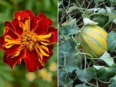 7 novenyparos 02 Pumpkin, Vegetables, Plants, Gardening, Pumpkins, Lawn And Garden, Vegetable Recipes, Plant, Squash