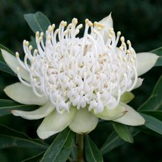 Gardening With Spring Trees And Shrubs Australian Wildflowers, Australian Native Flowers, Australian Plants, Unusual Flowers, Rare Flowers, White Flowers, Beautiful Flowers, Australian Native Garden, Australian Garden Design