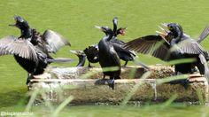 Biguás (Phalacrocorax brasilianus) fazendo bagunça no Jardim Botânico de São Paulo, em Abril/14. Na companhia de Claudia Komesu. Veja o vídeo aqui: https://www.youtube.com/watch?v=Ql3JgdSzJOk