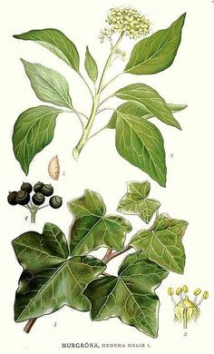 ivy botanical illustration @wikimediacommons #illustration #botanical #print