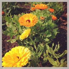 sunny calendulas - scatter the petals over cakes for a confetti style look - available from greensofdevon.com