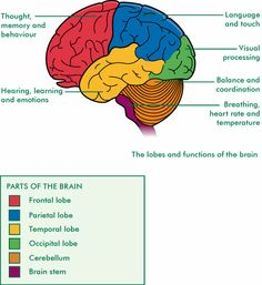 Diagram of the human brain with its respective parts yw helps parts of the brain diagram and function human anatomy anatomy ccuart Gallery