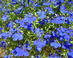 Blaue Lobelie