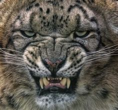 Clouded Snow Leopard: Okay, Who Had the Nerve to Pull This Kitty's Tail?