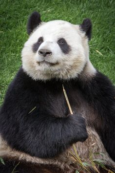 Panda by Gildas Cuisinier on 500px
