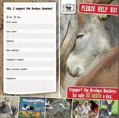 We'll start a new sponsoring program. More than 40 volunteers take care of a large group of donkeys on a daily basis. They also help raise money, as 130 donkeys cost a lot. Now there is a new way to help support this worthwhile foundation. Support the Aruban Donkeys (SAD) is a newly founded club for locals. Each participant pays just 10 florins a month and helps support the good work of the Donkey Sanctuary this way. Courtesy: Donkey Sanctuary Aruba.