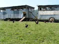 "Laying Hens and Roosters | Eggmobile: ""portable henhouse and the laying hens free ... 