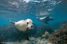 Australian sea lions are considered the most endangered sea lion species in the world.  Although