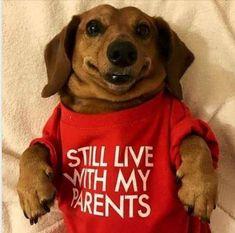 Funny Dachshund, Dachshund Puppies, Weenie Dogs, Dachshund Love, Cute Dogs And Puppies, I Love Dogs, Funny Dogs, Daschund, Doggies